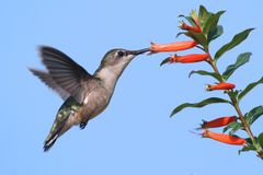 Ruby-throated Hummingbird at a Cigar Flower Royalty Free Stock Photography