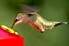 Ruby-throated Hummingbird Stock Images