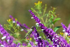Ruby throated hummingbird drinking from Mexican Sage flowers. One ruby throated hummingbird in flight hovering in purple Mexican Sage flower bushes. It is by far stock photography