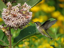 Ruby-Throated Hummingbird. A Ruby-Throated Hummingbird drinks nectar shortly after dawn from a milkweed plant Royalty Free Stock Photos