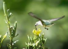 Ruby Throated Hummingbird e prímula de noite imagens de stock royalty free