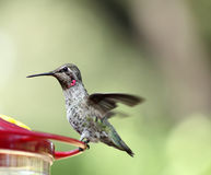Ruby-throated hummingbird on feeder Royalty Free Stock Images