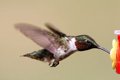 Ruby-throated Hummingbird At A Feeder Stock Photo