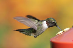 Ruby-throated Hummingbird At A Feeder Stock Photos