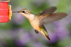 Ruby-throated Hummingbird At A Feeder Stock Images