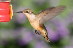 Ruby-throated Hummingbird At A Feeder Royalty Free Stock Photos