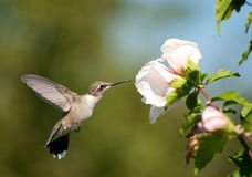 Ruby-throated Hummingbird feeding Stock Photo