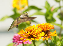 Ruby-throated Hummingbird feeding on a bright orange Zinnia. Flower in summer garden Royalty Free Stock Photos