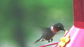 Ruby-throated Hummingbird stock video footage