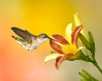 Ruby-Throated Hummingbird And Day Lilly. A Ruby-throated hummingbird feeding on a Day Lily stock photography