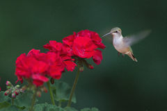 Ruby-throated hummingbird feeding on flower Royalty Free Stock Images