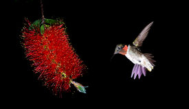 Ruby-throated hummingbird feeding from red beautiful tropical fl Royalty Free Stock Images
