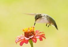 Ruby-throated Hummingbird feeding on a Zinnia flower Royalty Free Stock Photography