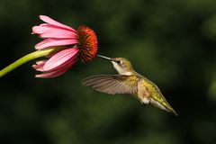 Ruby Throated Hummingbird Feeds From Flower. Ruby throated hummingbird in flight feeds from an echinacea flower Royalty Free Stock Images
