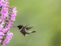Ruby-throated Hummingbird feeds on Meadow Sage in S. Ruby-throated Hummingbird, Archilochus colubris, feeds on Meadow Sage Salvia Pretensis, a pink perennial stock photos