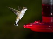 Ruby-throated hummingbird, female. Flying female of ruby-throated hummingbird about a feeder royalty free stock image