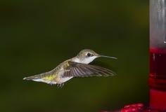 Ruby-throated hummingbird, female. Flying female of ruby-throated hummingbird about a feeder stock image