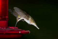 Ruby-throated hummingbird, female Royalty Free Stock Photos