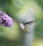 Ruby Throated Hummingbird Female imagem de stock