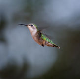 Ruby Throated Hummingbird Female Royaltyfria Foton