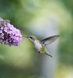 Ruby Throated Hummingbird Female Stock Image