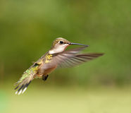 Ruby-throated Hummingbird female in flight. Against green background Royalty Free Stock Photos