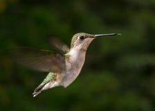 Ruby throated hummingbird Stock Image