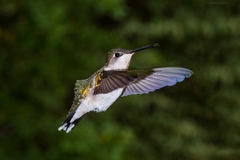 Ruby throated hummingbird Royalty Free Stock Images