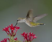 Female Hummingbird sipping on a red flower stock images