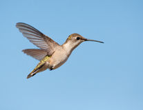 Ruby-throated Hummingbird female hovering Stock Images