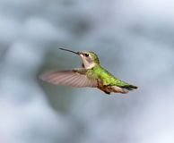 Ruby Throated Hummingbird female. Stock Image