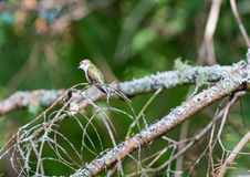 Ruby Throated Hummingbird female. Stock Photos