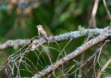 Ruby Throated Hummingbird female. Royalty Free Stock Photos