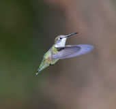 Ruby Throated Hummingbird female. Stock Photography