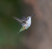 Ruby Throated Hummingbird female. Stock Images