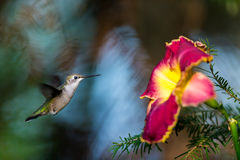 Ruby Throated Hummingbird female. Royalty Free Stock Photo