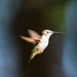 Ruby Throated Hummingbird female. Royalty Free Stock Images