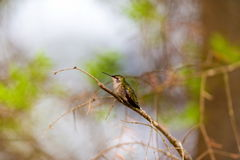 Ruby Throated Hummingbird female. Stock Photo