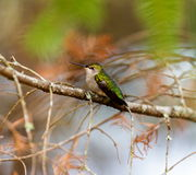 Ruby Throated Hummingbird female. Stock Photo