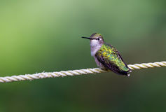 Ruby Throated Hummingbird female. Royalty Free Stock Image