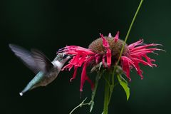 Ruby Throated Hummingbird Royalty Free Stock Image