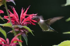 Ruby Throated Hummingbird Royalty Free Stock Photo