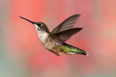 Ruby-throated Hummingbird In Flight Stock Photography