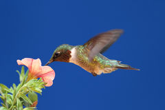 Ruby-throated Hummingbird In Flight Royalty Free Stock Photography