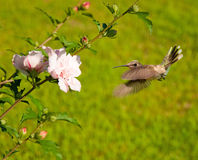 Ruby-throated hummingbird in flight Royalty Free Stock Photo