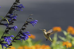 Ruby-throated Hummingbird in flight at blue sage Stock Photos