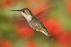 Ruby-throated Hummingbird In Flight Stock Photos
