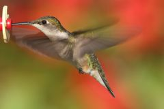 Ruby-throated Hummingbird In Flight Stock Images