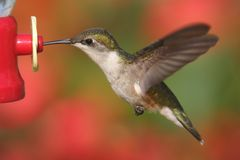 Ruby-throated Hummingbird In Flight Stock Photo