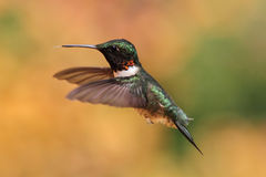Ruby-throated Hummingbird In Flight Royalty Free Stock Image